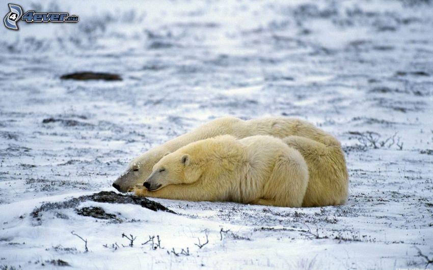 isbjörnar, snö