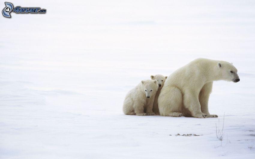 isbjörnar, ungar, snö