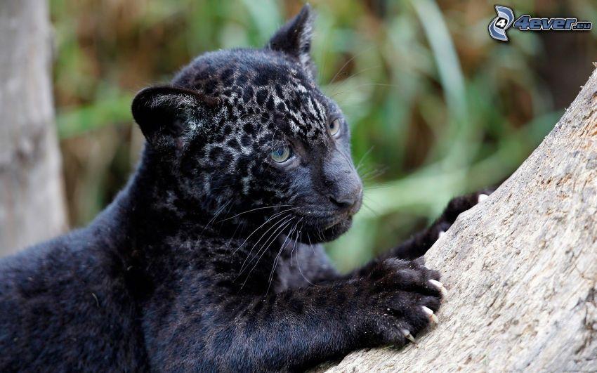jaguar, unge