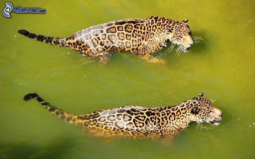 jaguar, vatten