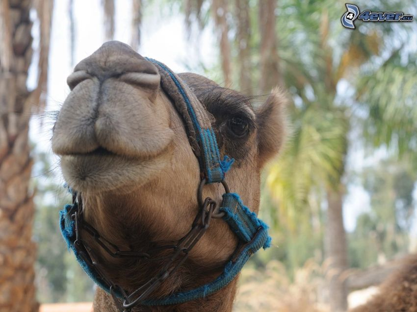 kamel, huvud