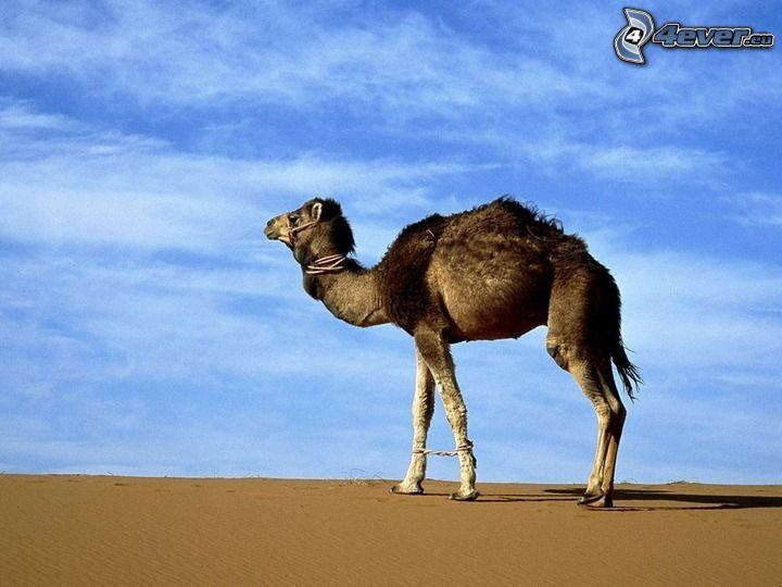 kamel, öken, himmel