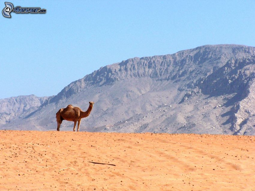 kamel, öken, kulle