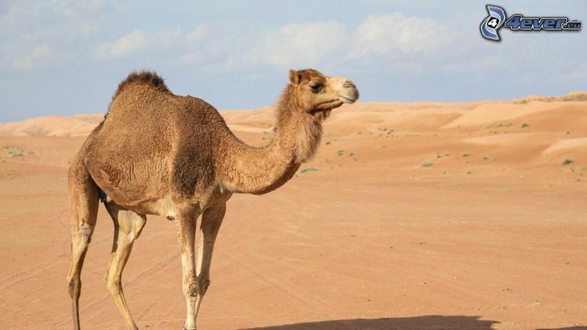 kamel, öken