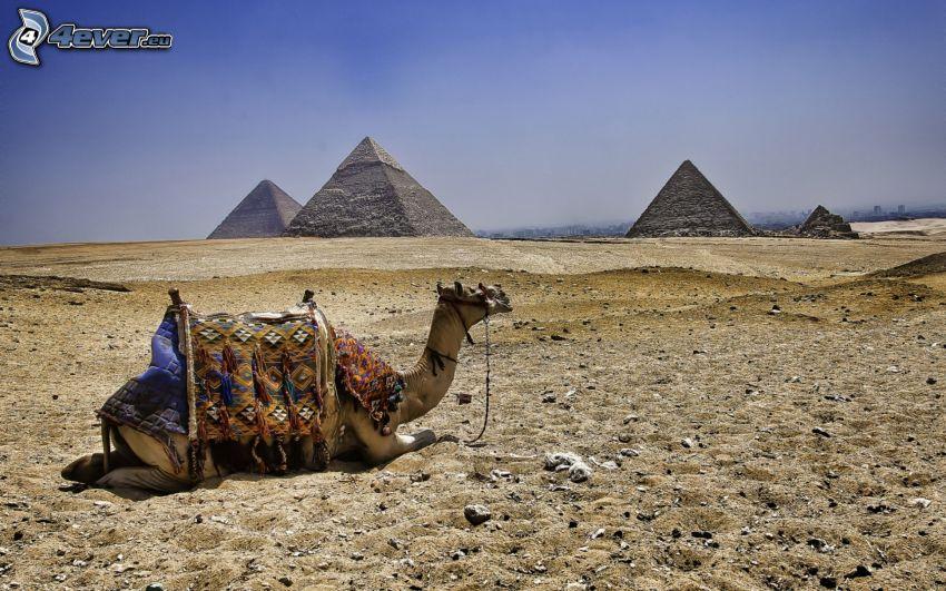 kamel, pyramider