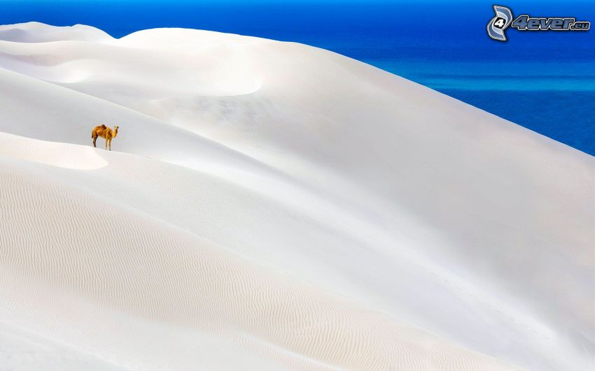 kamel, snöig backe
