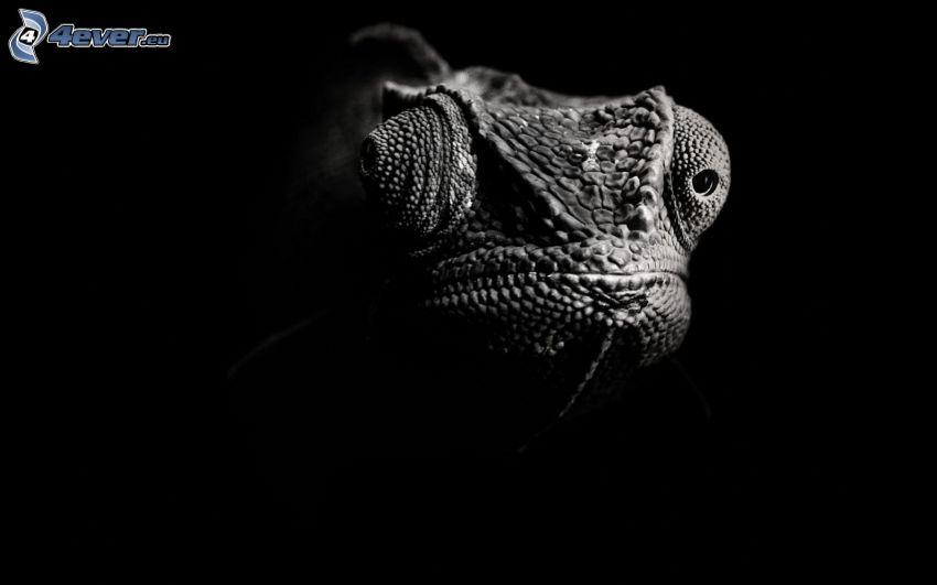 kameleont, svart och vitt