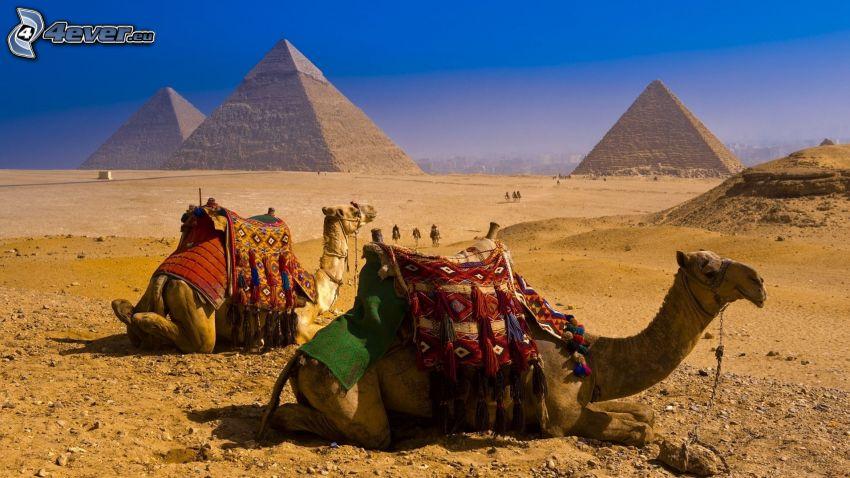 kameler, pyramiderna i Giza