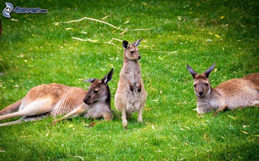 kängurur, gräs, vila