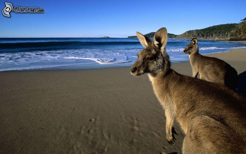 kängurur, sandstrand, hav