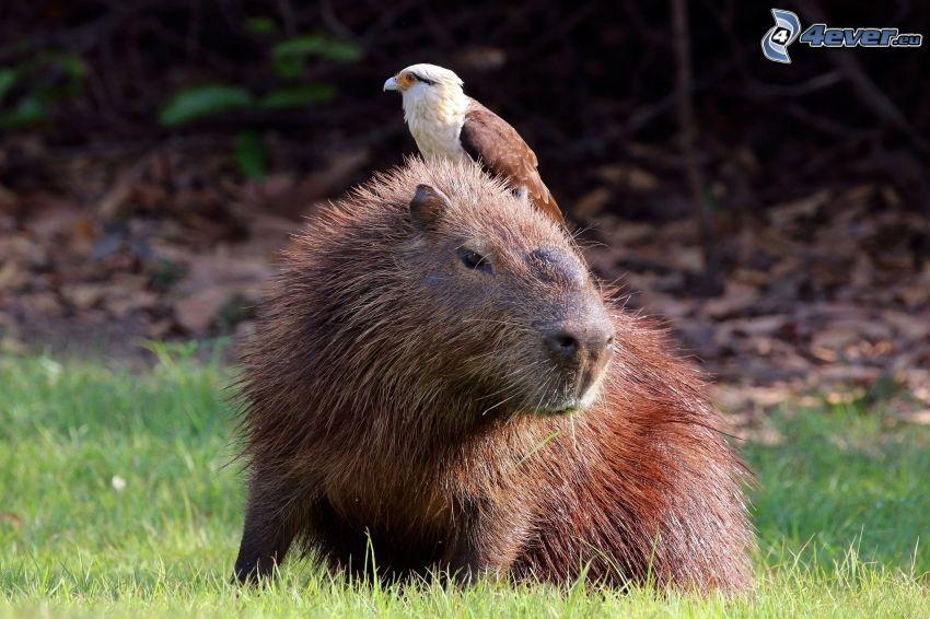 kapybara, fågel