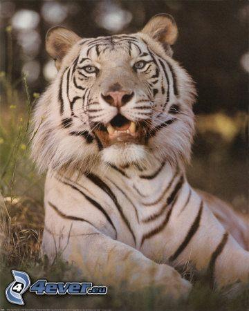 katter, kattdjur, vit tiger