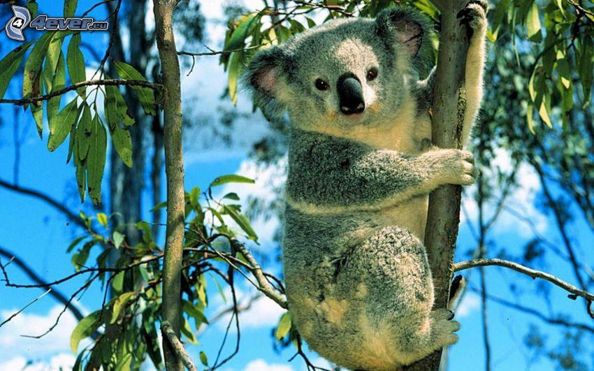 koala, eukalyptus