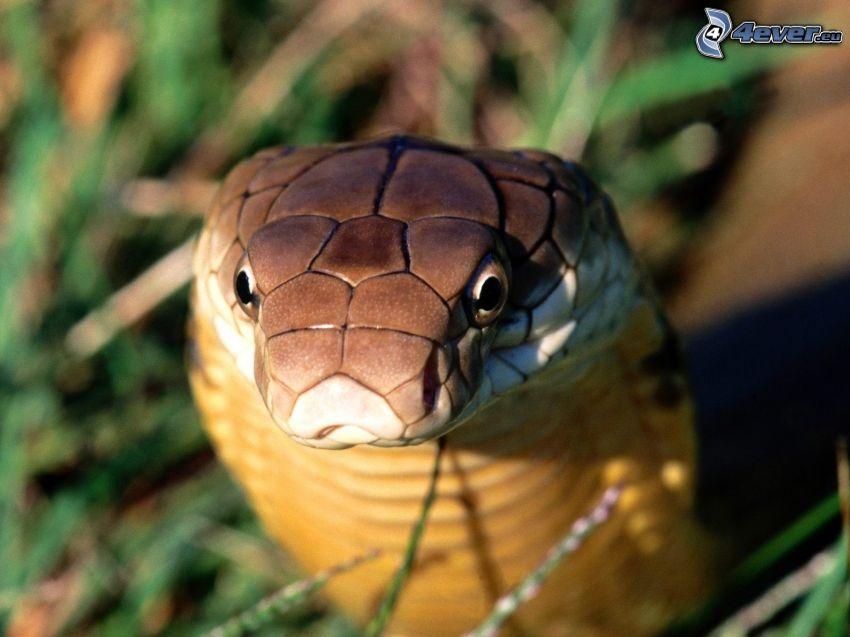 kobra, orm