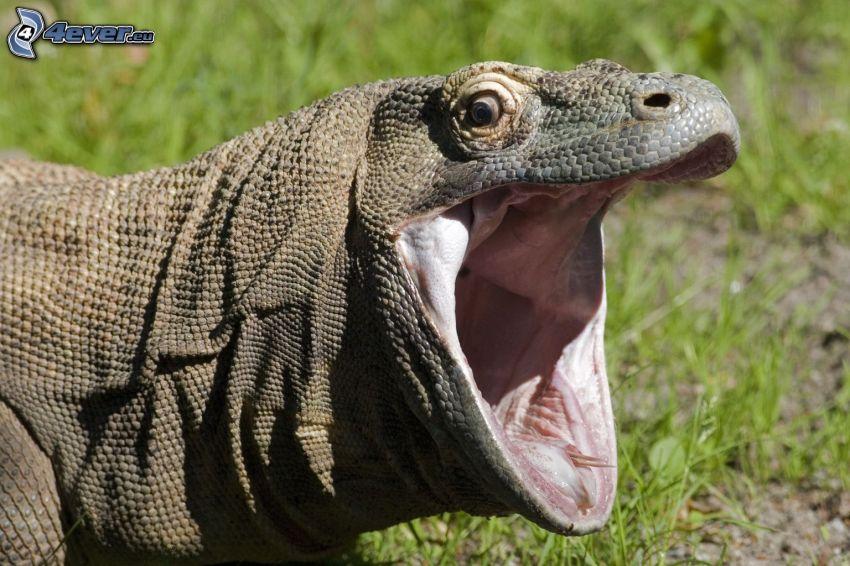 Komodovaran, gäspning