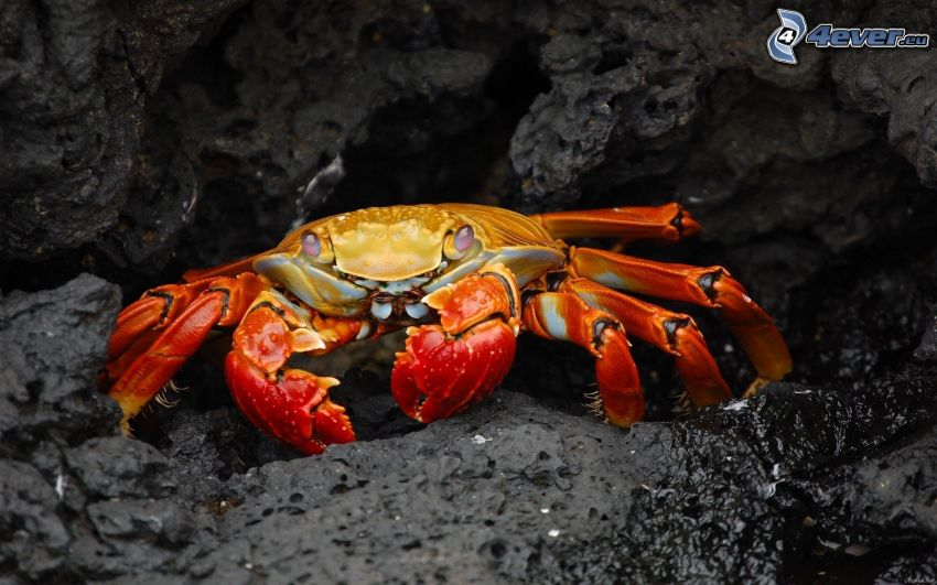 krabba, klippa
