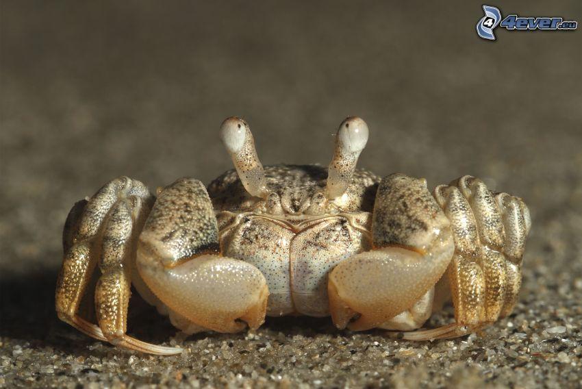 krabba, makro