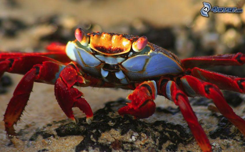 krabba