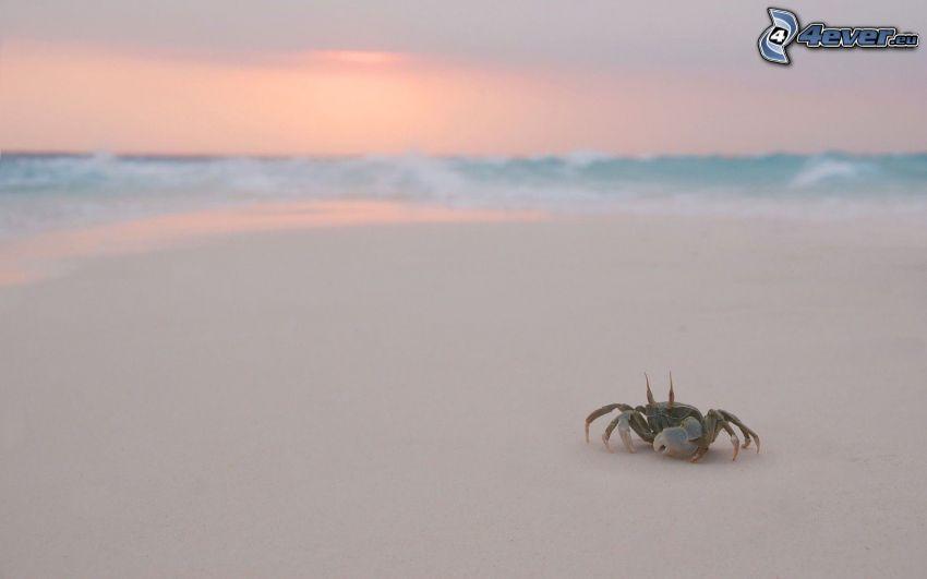 krabba på strand, sandstrand, solnedgång vid havet