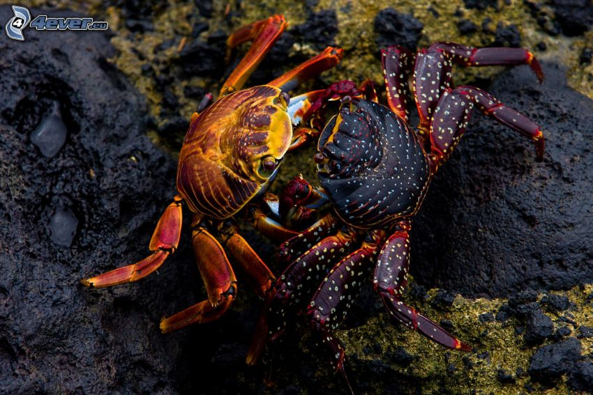 krabbor, sten