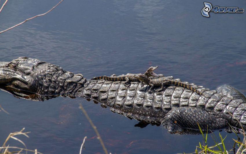 krokodil, alligator, vatten