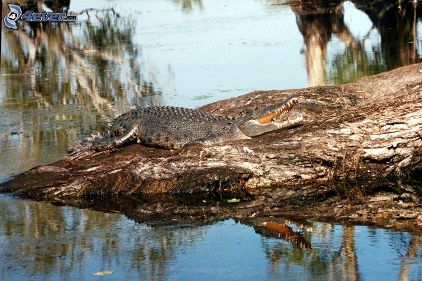 krokodil, klippa, vatten
