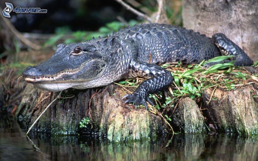krokodil, strand