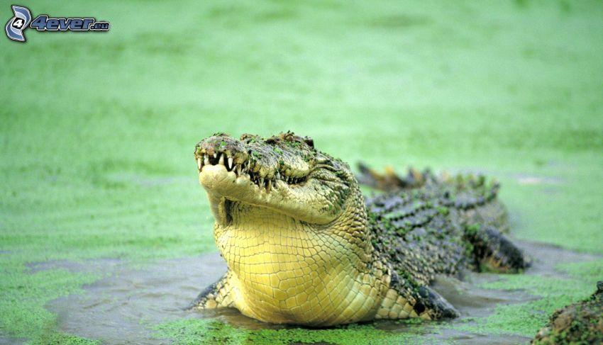 krokodil, träsk