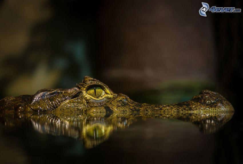 krokodil, vatten