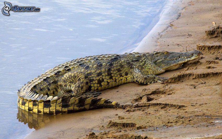 krokodil, vila, strand, vatten