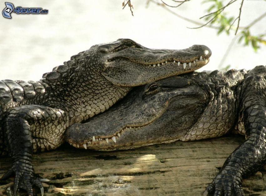 krokodiler, trä