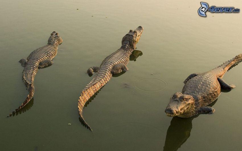 krokodiler, vatten