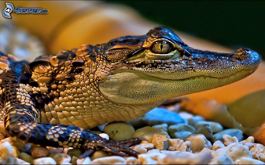 krokodiler
