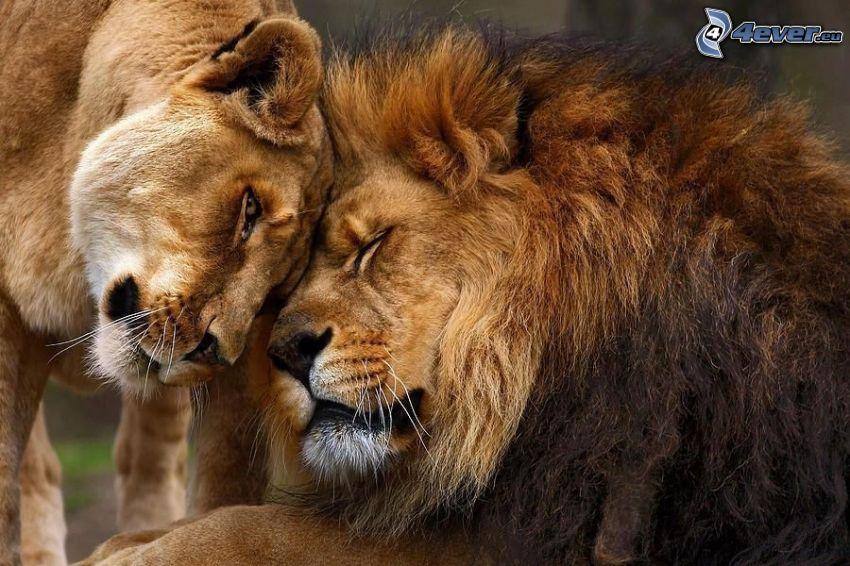 lejon, kärlek