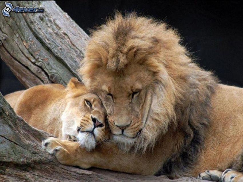 lejon, lejonhona