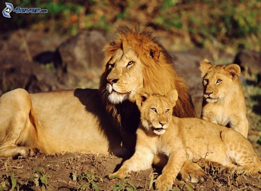 lejon, ungar