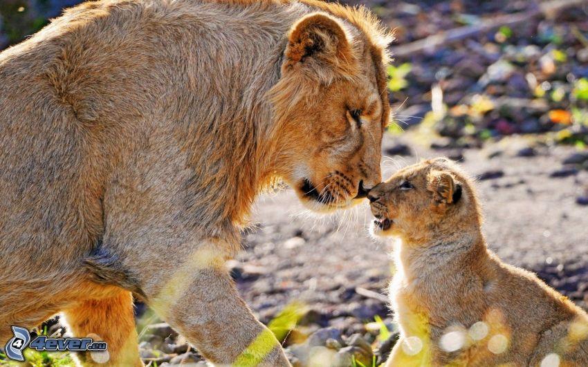 lejon, unge