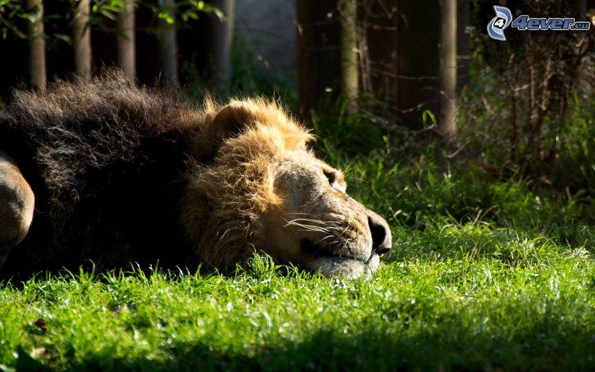 lejon, vila, skog