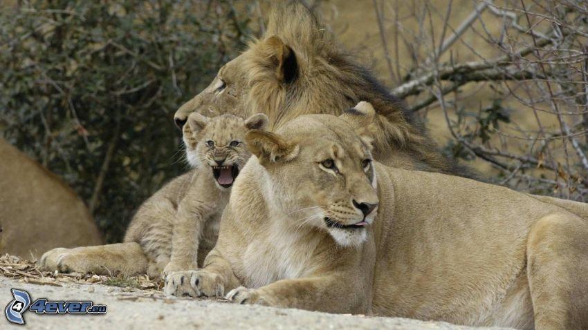lejonfamilj, lejonhona, lejon