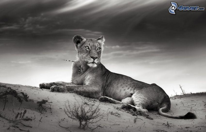 lejonhona, svart och vitt