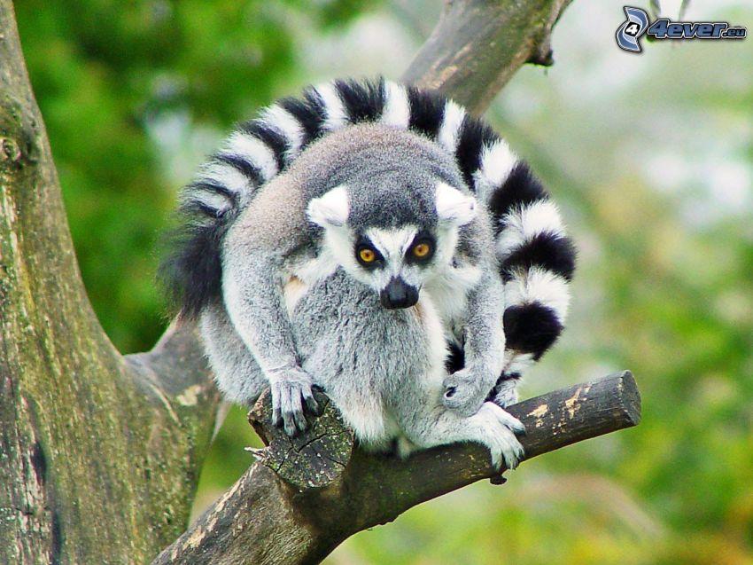 lemur, träd, grenar