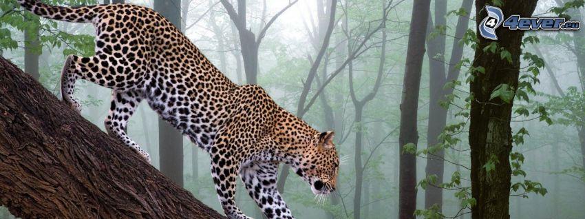 leopard, skog