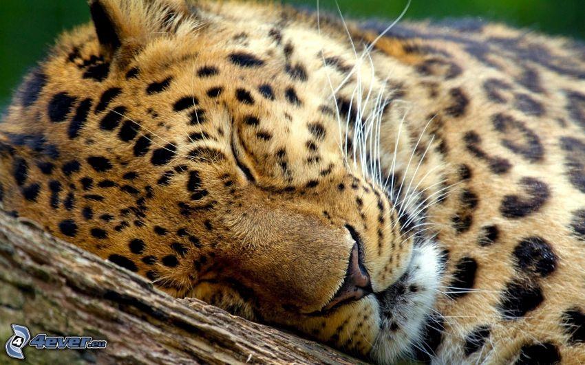 leopard, sömn