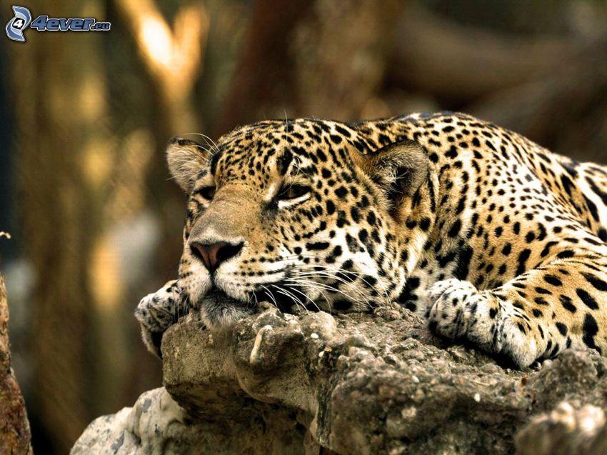leopard, sten