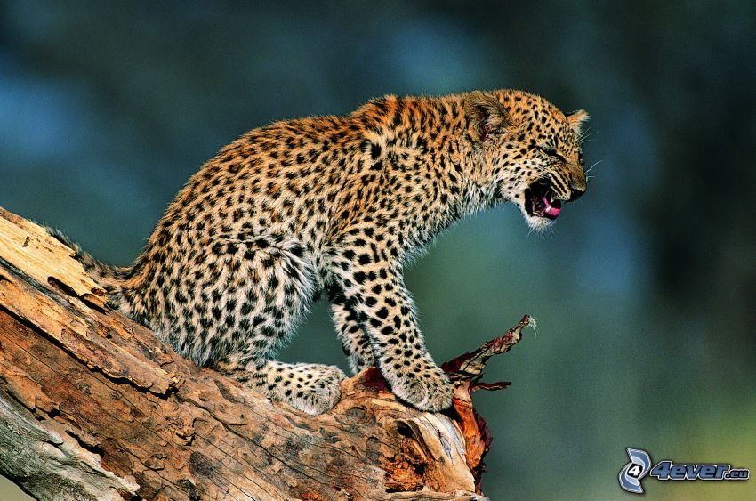leopard, stubbe