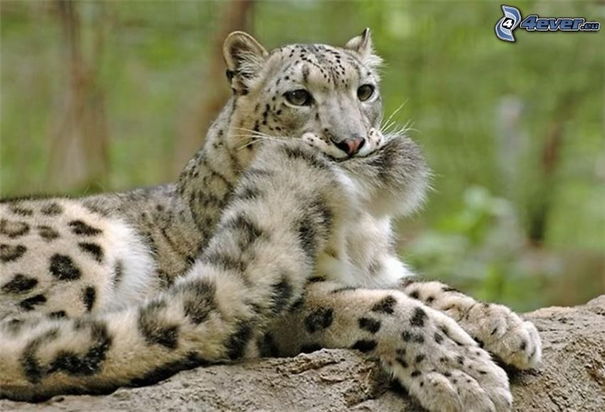 leopard, svans