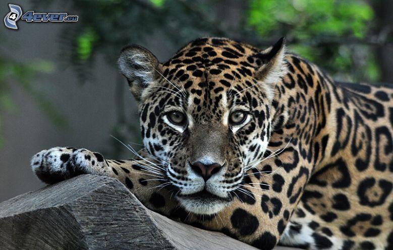 leopard, trä