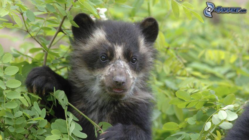 liten björn, svart björn, buske