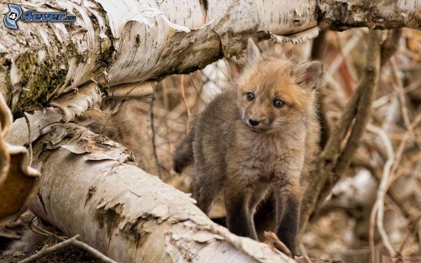 liten räv, trädstammar