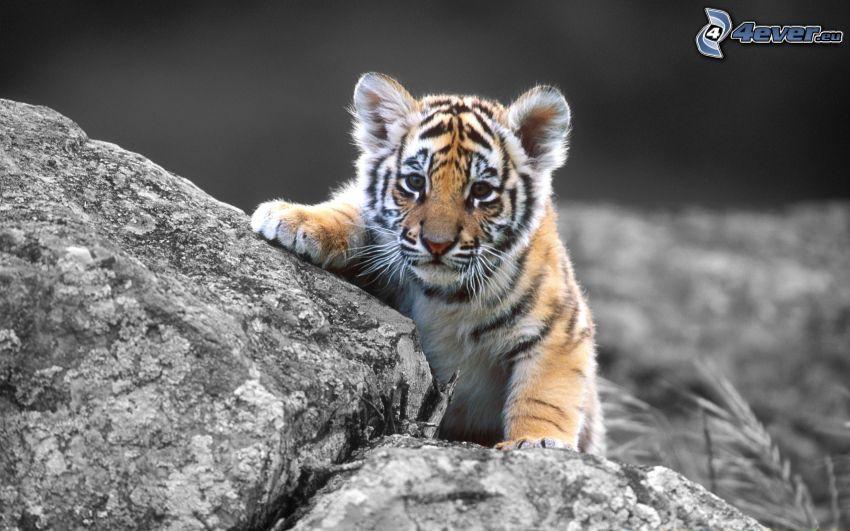 liten tiger